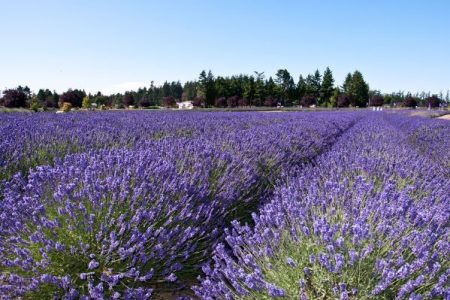 Lavender field in Sequim WA