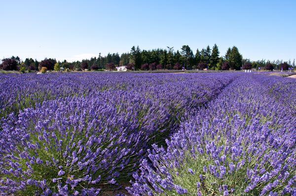 Lavender field in Sequim WA