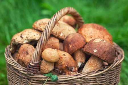 basket of freshly picked wild mushrooms