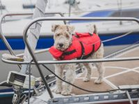 terrier dog in a life vest standing on a sailboat