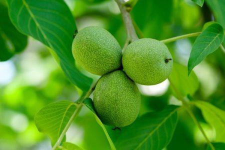 greens walnuts on the tree
