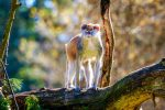 Patas monkey on a tree branch