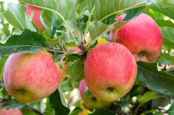 apples growing on trees