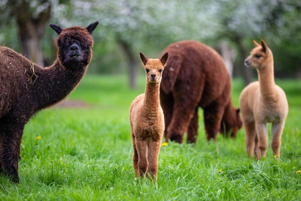 Group of brown alpacas grazing