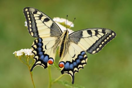 Papilio machaon, Old-World swallowtail butterfly