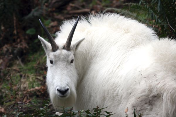 mountain goats live on steep mountain slopes in the Rocky and Cascade Mountains, and Olympic Peninsula.