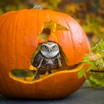 Point Defiance Zoo pumpkin days owl