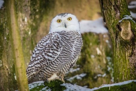 snowy owl sitting on a tree stump