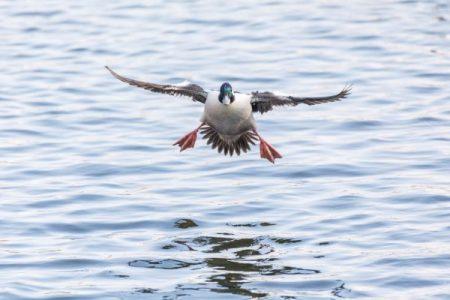 Male bufflehead duck landing on water