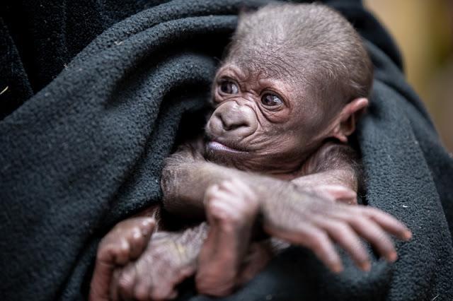 Baby gorilla January 2021 Photos by Jeremy Dwyer-Lindgren, Woodland Park Zoo