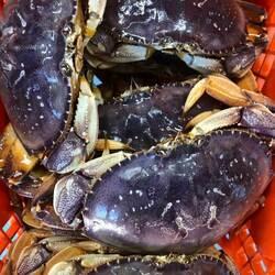 Taylor Shellfish Dungeness crab