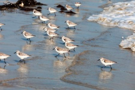 sandpipers running on the beach