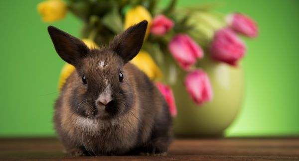 Cute bunny sitting in front of a vase of spring tulips