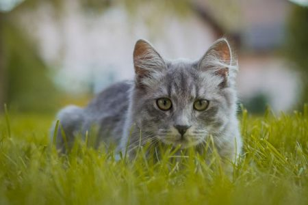 gray kitty cat sitting in the grass