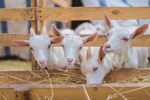 goats eating hay from a trough