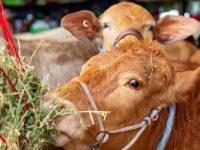 steer eating hay