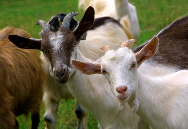 Inquisitive herd of goats