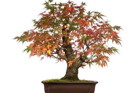 maple bonsai tree in fall color