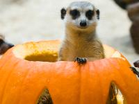 woodland park zoo meerkats in pumpkins